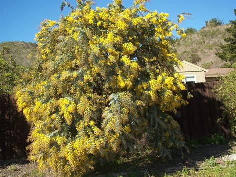 Golden Rain Tree Pictures, Detailed Information on the