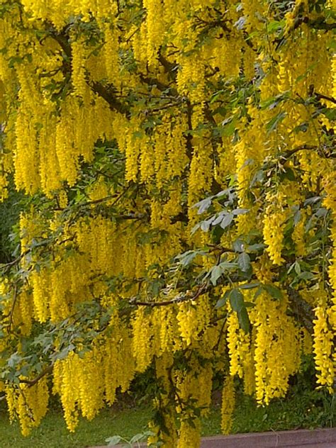 Golden Rain Tree + South Florida + In full bloom in the