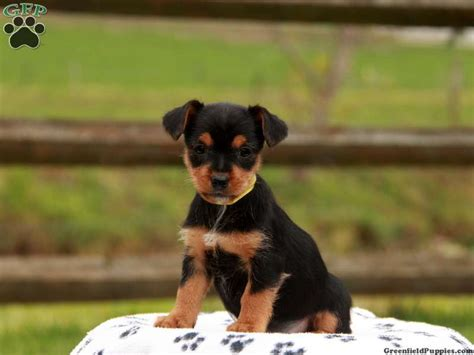 Yorkie Russell Puppies For Sale In DE MD NY NJ Philly DC