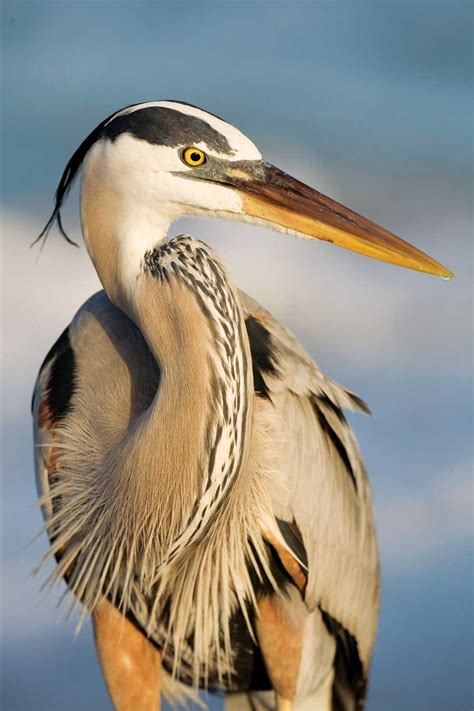 All About the Great Blue Heron