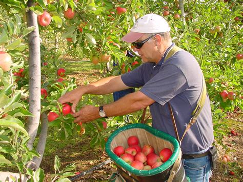 Recommendations for successful apple pollination