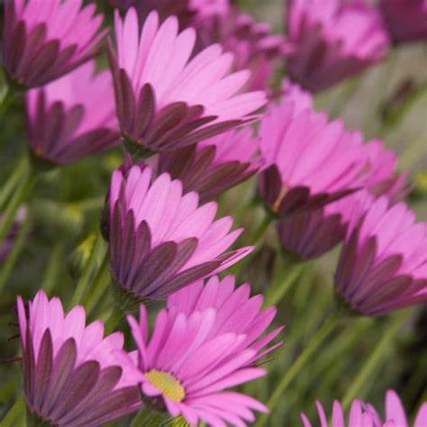 Buy African daisy Osteospermum In The Pink: £7