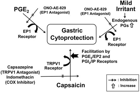 Modulation of Capsaicin-Induced Gastric Protection by