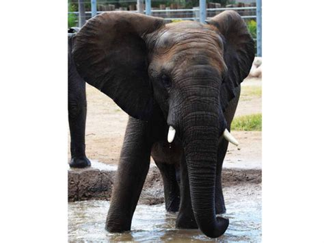 Beloved Tucson zoo elephant dies suddenly of 'twisted gut