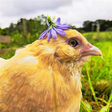 Chicken Care 101: Happy, Healthy Chickens | Walk And Wag