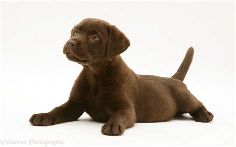 Chocolate lab clipart - Clipground