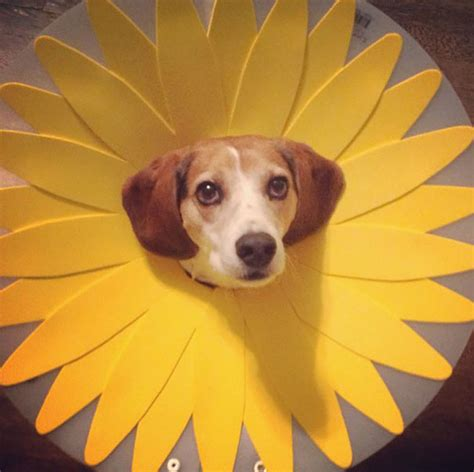19 Creative Pet Cones That Your Pet Will Hate Even More