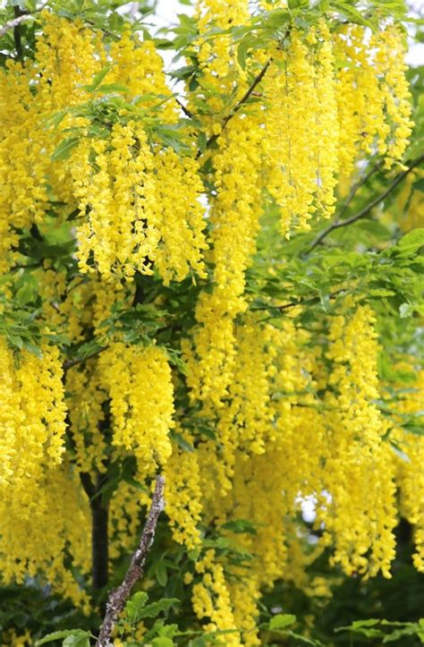 Golden Chain Tree Laburnum anagyroides Live Potted Tree 24-30